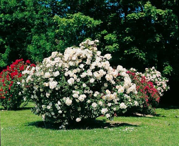 Taille des rosiers fd gresser paysager loiret olivet orl ans st jean de la ruelle - Taille rosier buisson ...